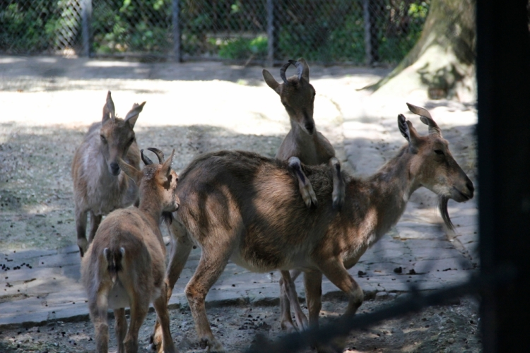 Goats playing around.