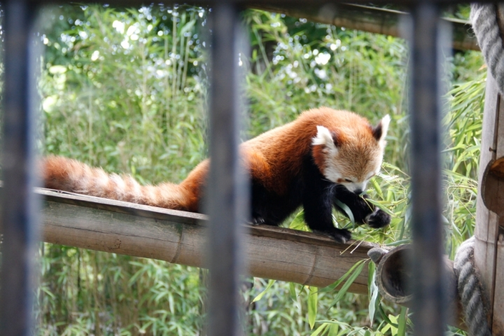 One of several red pandas in the Menagerie.